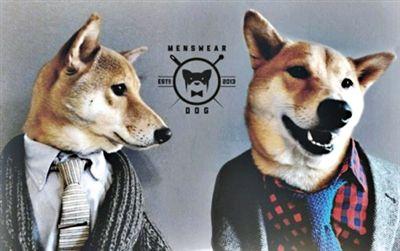 美国纽约4岁柴犬Bodhi在纽约时尚圈非常有名