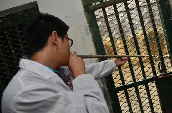 兽医吹管给老虎打疫苗