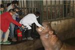 无锡动物园动物健康大体检 老虎吹管打疫苗