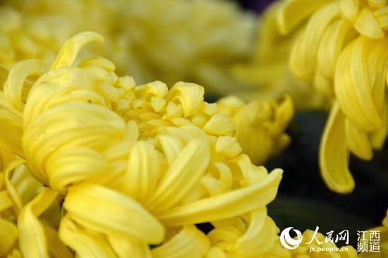 组图:百万盆菊花将扮靓明升体育 展览将持续一个月