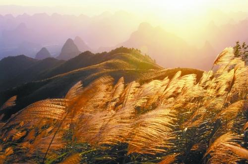 桂林郊外的芒草。 张克祥 摄