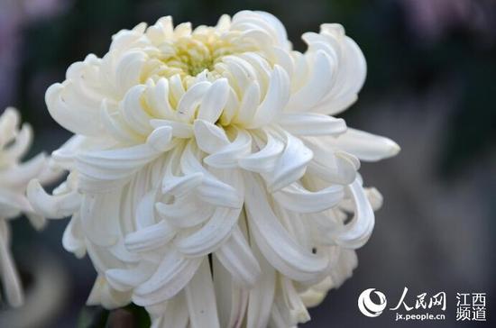 组图:百万盆菊花将扮靓南昌 展览将持续一个月