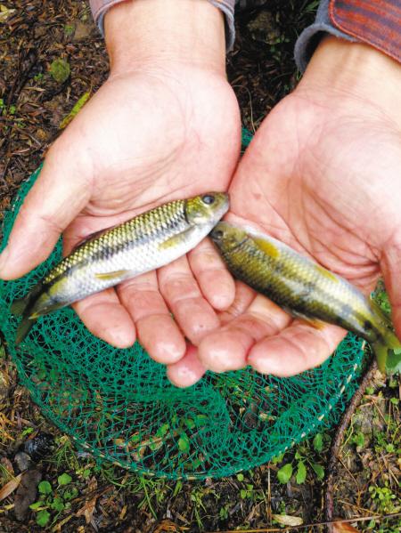 人工养殖成功的溪坑石斑鱼。记者 鲁威 摄