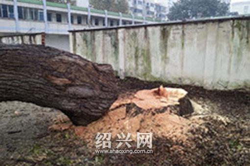 """大树被砍倒(网友""""保佑桥头""""提供)"""