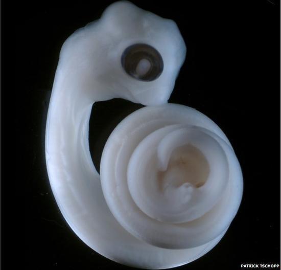 陆生脊椎动物生殖器与四肢有共同起源(图)