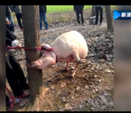 母猪咬死2岁男童