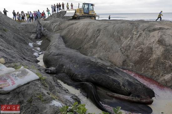 尼加拉瓜鲸鱼搁浅:众人相助失败为其举行葬礼