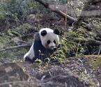 熊猫遭围攻受伤遭围攻