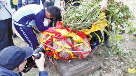 华茂外国语学校农场校园收获150斤重高中番薯广西排名图片