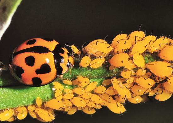 全世界有超过5000种以上的瓢虫,体色鲜艳,常具红、黑、黄色斑点。许多种类无论成虫还是幼虫都以蚜虫为食。