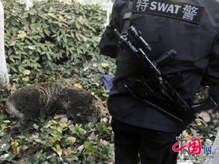 受伤野猪。