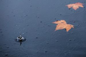 昨天上午,两片落叶漂在西湖水面,雨点落下溅起水花。 记者 陈中秋 摄
