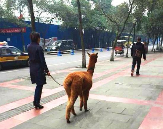 美女遛羊驼 图据微博网友