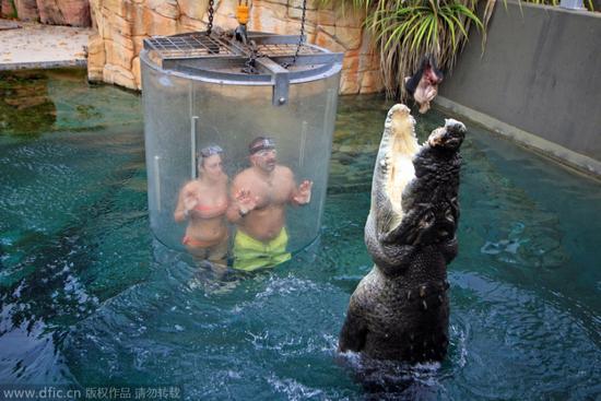 澳公园推出死亡之笼:水底与5米巨鳄面对面
