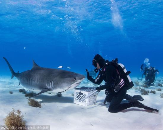 虎鲨沉浸美食变乖萌吃货:与潜水员和谐相处.