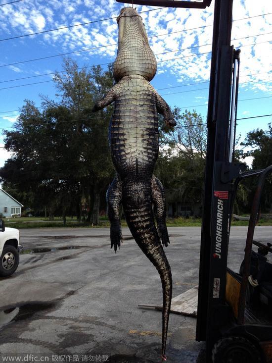 美国男子用电子叫声成功诱捕326公斤鳄鱼