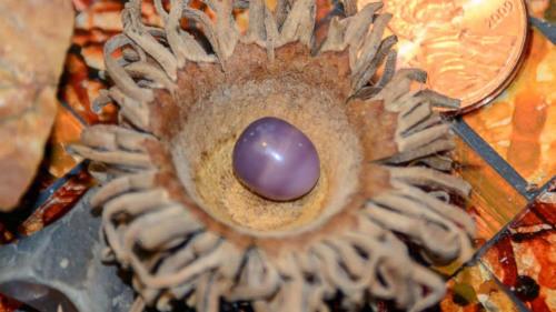 凯瑟琳·莫雷利购买了价值15美元的蛤蜊,却吃出了一个罕见的紫色珍珠。