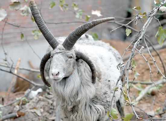 """一万多元买来的""""四角羊""""   要免费送人"""