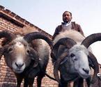 市民万元买四角羊当宠物
