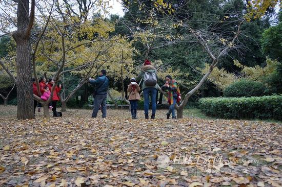 桂林园林植物园银杏。通讯员李腾钊 摄