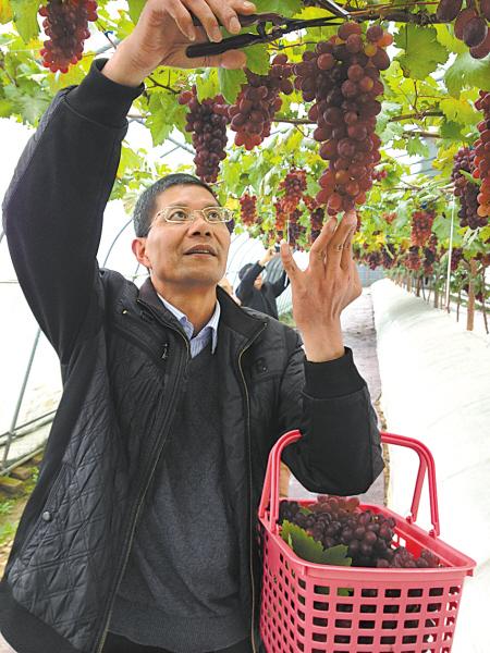 果农赵聪才正在采摘冬季葡萄。(孙吉晶 摄)