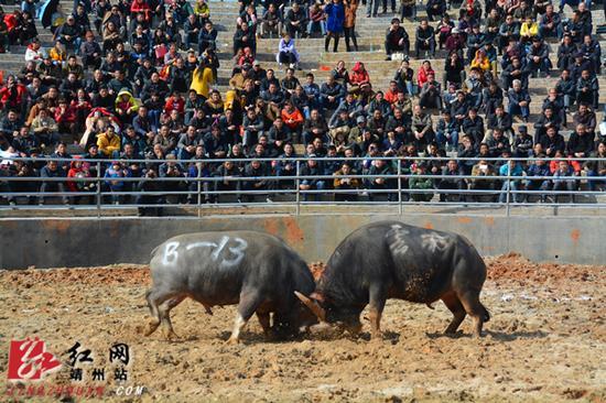 12月12日,湖南省靖州苗族侗族自治县国际民斗牛场,两牛激战正酣,观众不时惊呼。  刘杰华 摄