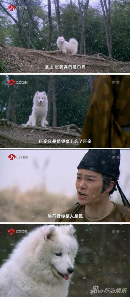 呆萌萨摩耶变身白狐