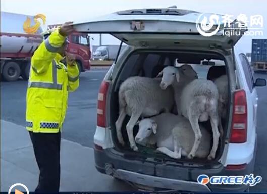 该司机的车里装了四只羊,属于违规运输