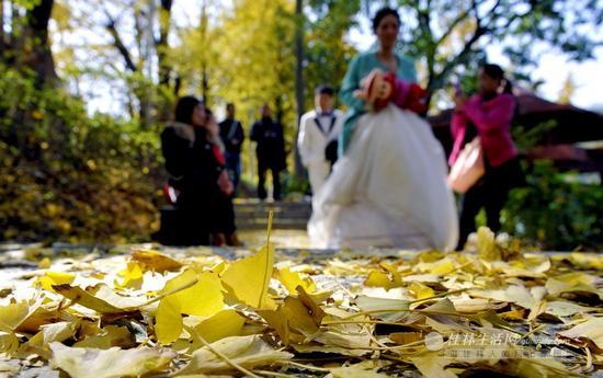 桂湖畔金黄色的银杏叶,见证了一对新人的幸福。