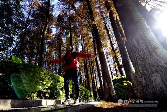 """桂湖边的水杉下,一位市民张开双手""""拥抱""""美景。见习记者滕嘉 摄"""