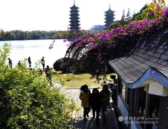 市民从衫湖畔的三角梅下走过。在桂林的街边,不仅只有树的颜色,三角梅也成为了桂林秋色的一种体现。见习记者滕嘉 摄