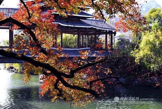 桃花江路鲁家村前的乌桕树,用自己鲜艳的红色迎接每一位游客。