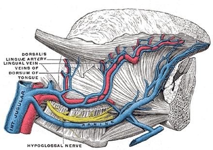 舌的主要舌外肌、血管、神经图示。