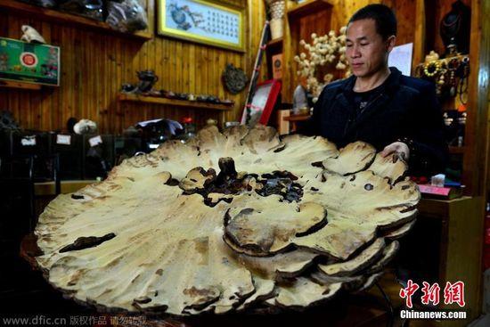 广西贺州现巨型野生灵芝 直径107厘米重达14斤