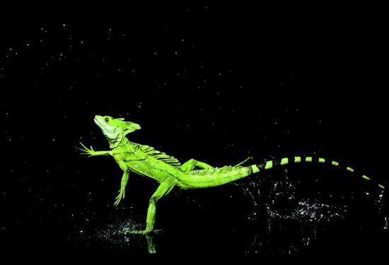 图为水面奔跑的绿双冠蜥(Basiliscus plumifrons////),拍摄于哥斯达黎加。这种蜥蜴身长可以生长至60厘米以上,包含长尾巴在内。就是这位高手拥有高速旋转拍水的惊人脚功。