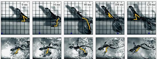 以上为高速摄像机拍摄的绿双冠蜥(20.8克)水面奔跑图(奔跑速度为每秒1.4米)。左脚的形状用黄线表示。背景方格间隔为2厘米。为了看清移动的距离,我们在相同的位置用深蓝色圆点标记。图下方的粗箭头表示左脚的移动,数字表示脚每旋转拍打一次的时间内脚的不同动作所占的时间比(实验中体重在2.8~78克范围内的11只绿双冠蜥的平均值)。右脚的移动要慢半周(S.Tonia Hsieh, The journal of Experimental Biology,206,p4363-4377,2003)。