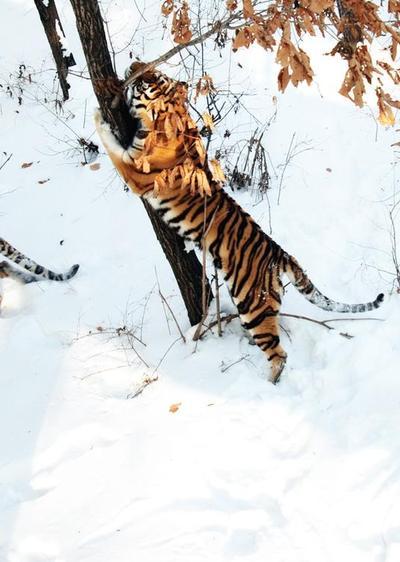 哈尔滨北方森林动物园猛禽动物馆的老虎们