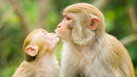 英国动物学家德斯蒙德-莫里斯指出,亲吻可能源自于灵长类动物为孩子咀嚼食物而后将食物喂给孩子的行为。黑猩猩妈妈会咀嚼食物,而后用自己的嘴唇压住孩子的嘴唇,让食物流入孩子的嘴巴