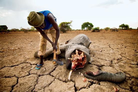 乍得扎库玛国家公园,年幼的大象被猎杀,脸部和鼻子被割断,巡护员正试图从尸骸中拔出象牙,以防逃走的盗猎者返回发现。
