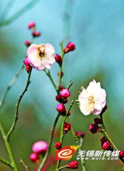 冷空气打断花儿赶春脚步 无锡下一轮花期会被拖后
