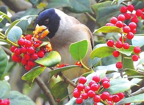 骨树引鸟儿抢食小红果