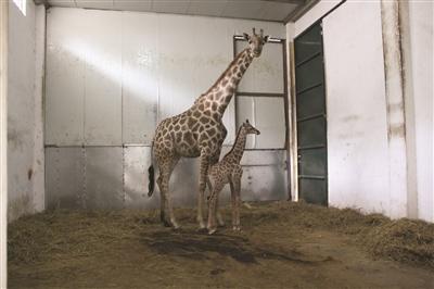 长颈鹿妈妈带着自己的宝宝。