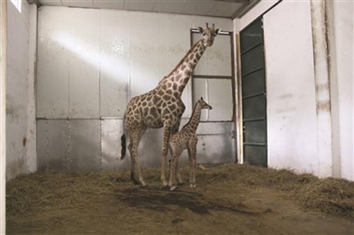 动物园长颈鹿生宝宝