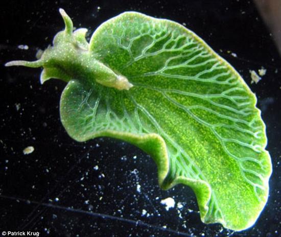 绿叶海天牛的基因组中具有来自藻类的基因,这使得它们具有了光合作用的能力.