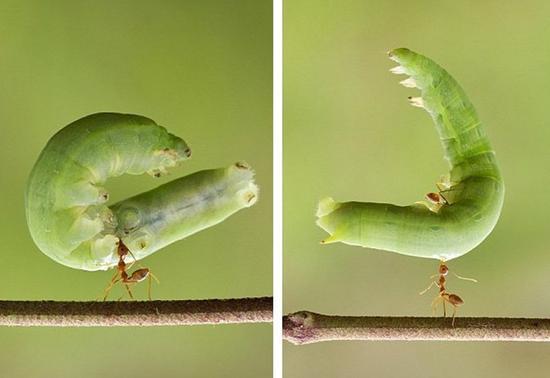 印尼小蚂蚁轻松举起5厘米长毛毛虫
