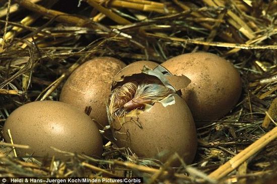 透明蛋壳使观察鸟类胚胎的发育变得更为简便,在未来这一技术也有可能应用在人类胚胎的研究中。