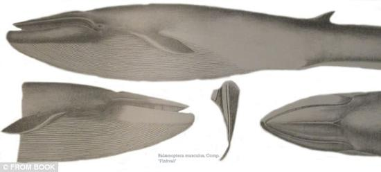 尽管科学家们已经监听这条鲸频率高的异常的52赫兹歌声已有20年之久,但他们从未能知道声音那一头,那条孤独的鲸究竟是什么模样,甚至不能确定它具体的种属,但他们相信它最有可能是蓝鲸和长须鲸的杂交后代