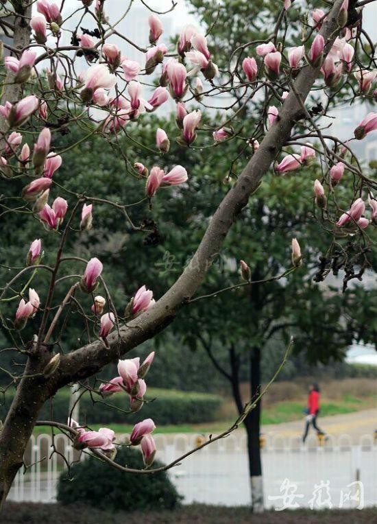 气温较高花期提前 合肥玉兰花绽放全城飘香