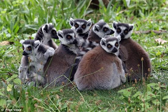 研究人员分析了12只环尾狐猴的气味变化,得出了非常令人称奇的结论。