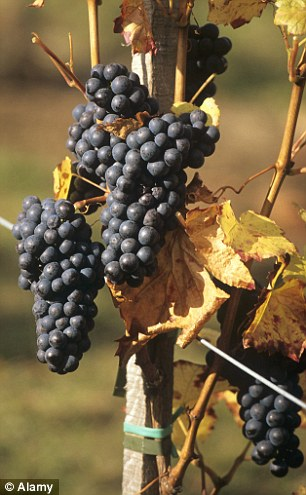 白藜芦醇可以保护紫葡萄、可可豆和日本紫菀不受感染和干旱的伤害。